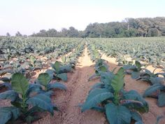 Now that's a field of tobacco!!