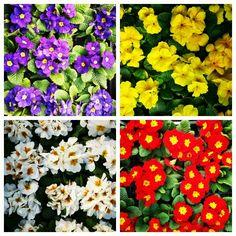 #primula #çuha #kartepecicekcilik Four Square, Plants, Plant, Planets