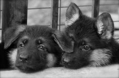 Adorable GSD pups