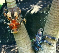 Coconut crab,  the world's bigest land-living arthropod.  #scary #animals #crab