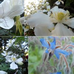 Clematis Montana and Starflower Clematis Montana, Pastels, Plants, Plant, Planets