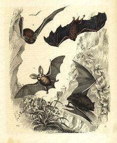 original Antique Natural History Bats Print  by RarePostCards