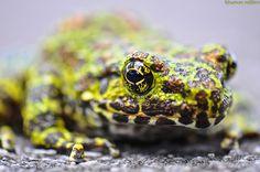 Ishikawa's Frog - Odorrana ishikawae  Odorrana ishikawae (Ranidae) is a rare, beautiful, and sadly Endangered species, endemic to the Ryukyu Islands of Japan, and is found only on Amamioshima and Okinawajima Islands.