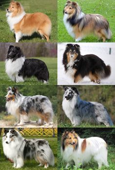 The 8 Sheltie Coat Colors Blue Merle Collie, Blue Merle Sheltie, Cute Dogs And Puppies, Baby Dogs, Pet Dogs, Sheep Dogs, Rough Collie, Collie Dog, Bleu Merle