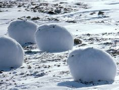 Arctic hares, beautifully camouflaged as snow-covered rocks.