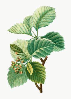 Plant Illustration, Botanical Illustration, Botanical Flowers, Botanical Art, Olive Plant, Flower Art Images, Plant Vector, Vintage Botanical Prints, Collage
