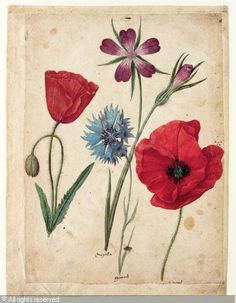 LEMOYNE DE MORGUES Jacques, a sheet of studies of flowers: two corn poppies, a corn cockle and a cornflower - ca 1533-1588 (France)