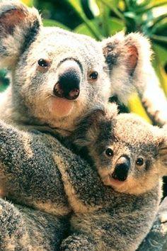 ✿ڿڰۣ(̆̃̃❤Aussiegirl  #LOVE  Koala with her baby
