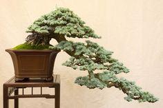 .Most beautiful bonsai ever -KL