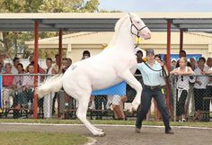 Meet THE OPERA HOUSE, a white filly by Zabeel out of Carmina Burana (Star Way) she is also a 3 quarter sister of Champion gelding MIGHT AND POWER. She became the first white horse in Australian History to be sold at Auction sales