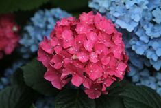 Hydrangea flowers are fascinating blooms with different colour flowers blooming on the same plant. Have a look at these most beautiful hydrangeas excellent for container gardening & shrub borders Hydrangea Garden, Hydrangea Flower, Hydrangeas, Hydrangea Macrophylla, Flora Flowers, Flower Garlands, Chrysanthemum, Container Gardening, Hibiscus