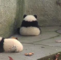 Everything about pandas is adorable