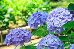 How to change your hydrangea's color--from pink to blue and back again.   Photo: SHOSEI/Aflo/Getty   thisoldhouse.com