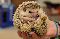 Such a cute little hedgehog :)