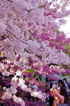 Cherry blossoms in Sakura, Japan. Go to www.YourTravelVideos.com or just click on photo for home videos and much more on sites like this.