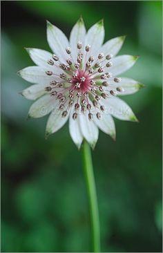 --> astrantia major, my favorite flower, like a delicate star