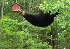 Ridiculously hungry? The lengths to which a bear will go for a snack...