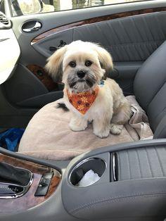 First haircut! My beautiful Lhasa Maltese Shih Tzu, Shih Tzu Puppy, Shih Tzus, Cute Puppies, Cute Dogs, Dogs And Puppies, Teddy Bear Dog, Bear Dogs, Doggies