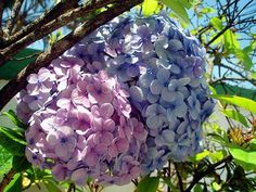 Hydrangeas - my favorite garden flower.  Easy to grow and you get several colors, sometimes on the same flower!