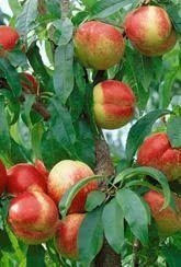 Nectarine Tree: Lord Napier - Tree