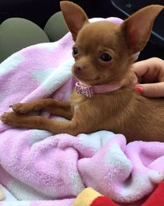 Effective Potty Training Chihuahua Consistency Is Key Ideas. Brilliant Potty Training Chihuahua Consistency Is Key Ideas. Baby Chihuahua, Brown Chihuahua, Cute Puppies, Cute Dogs, Dogs And Puppies, Doggies, Poodle Puppies, Labradoodle, Baby Animals