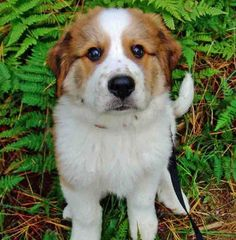 bernese mountain dog / great pyrenees mix