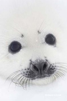 Harp Seal pup close-up of face Harp Seal Phoca groenlandica head shot close-up Gulf of St Lawrence, Quebec CANADA (Favorite Animal) Harp Seal Pup, Baby Harp Seal, Baby Seal, Animals And Pets, Baby Animals, Cute Animals, Cute Seals, Lovely Creatures, Mundo Animal
