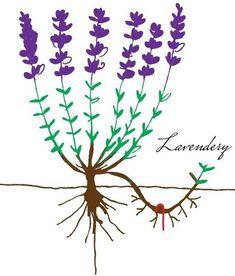 Propagation by layering – Lavender propagation mound layering and simple layering Propagation, Medicinal Plants, Air Plants, Trellis, The Hobbit, Garden Pots, Backyard Landscaping, Homemade, Simple