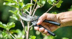 Kerti növények gondozása – visszacsípés, metszés, visszavágás