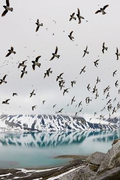Dovekies, Svalbard, Norway - Photograph by Paul Nicklen