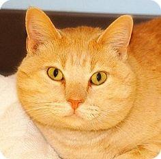 Shawnee Mission, KS - Domestic Shorthair. Meet Lamar, a cat for adoption. http://www.adoptapet.com/pet/11949184-shawnee-mission-kansas-cat