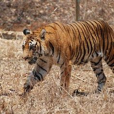The Royal Bengal Tiger at sundarban.