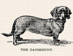 Dachshund Dog Illustration - Vintage Animal Clip Art Image – Digital Stamp - Printable Transfer Graphic – instant download clipart - CU OK