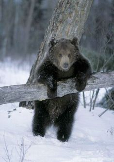 Bear in snow Animals And Pets, Funny Animals, Cute Animals, Baby Animals, Funny Bears, Cute Bears, Bear Cubs, Grizzly Bears, Love Bear