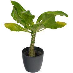 Plante d 39 int rieur yucca 2 troncs pot blanc for Yucca exterieur gele