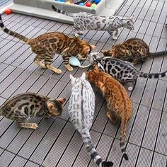 cool Bengal kittens- coats of many colors :) catsnation.blogsp... (AWE.... I WANT ONE...