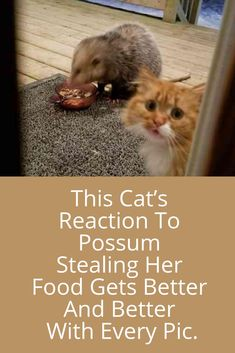 Someone caught a possum stealing their cat's food, but it's the cat's reaction to the whole situation that makes this totally hilarious. Cute Stories, Cat Food, Get Well, Cats And Kittens, Hilarious, Wellness, Pets, Sadness, Cure