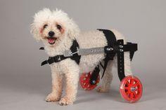 Diy Dog Wheelchair, Quadriplegic, Adaptive Sports, Diy Stuffed Animals, Shih Tzu, Pet Care, Cute Dogs, Dog Cat, Mini