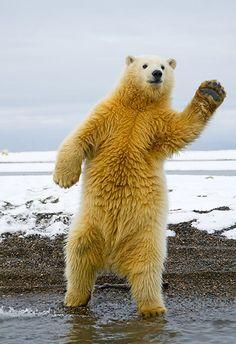 This polar bear was spotted strutting his stuff on the edge of the Bernard Spit in Alaska. Photographer Steven Kazlowski   #Travel #wildlife