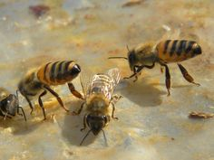 CC0 Publlic Domain.  Bees, Honey Bees, Animals, Insect
