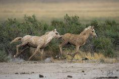 wild horses utah-1258 - Two Foals On The Run - Onaqui Herd