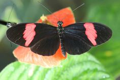 A landmark effort to sequence the genome of the butterfly Heliconius melpomene has revealed that it shares genes that control color patterns with two species that closely mimic its appearance — Heliconius timareta and Heliconius elevatus — suggesting that all three exchange genes as a result of occasional hybridization.