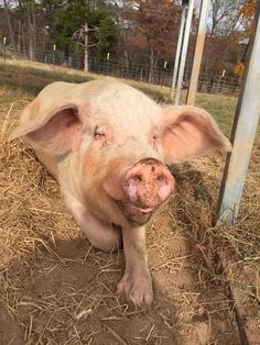 Horton lives at The Gentle Barn in Tennessee. Horton you are so loved! #HortonHearsaMoo