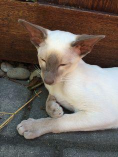 Sleepy Lilac point Siamese kitten.