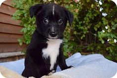 Sacramento, CA - Border Collie/Labrador Retriever Mix. Meet Darla, a puppy for adoption. http://www.adoptapet.com/pet/16756357-sacramento-california-border-collie-mix