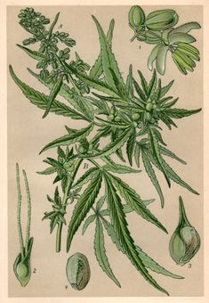 1901 Antique Botanical Print Cannabis sativa by Craftissimo