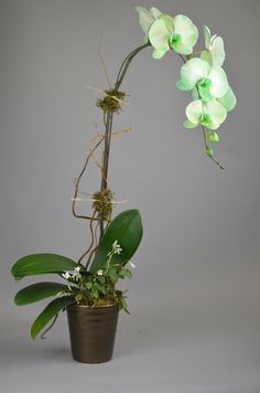 Limelight Orchid