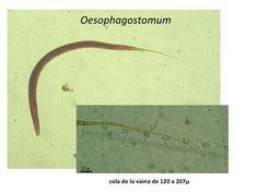 Oesophagostomum cola vaina L3.jpg