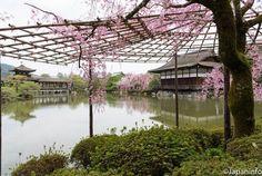 Japaninfo added 44 new photos to the album: Beni Shidare-zakura สีสดในสวน 4 ทิศ@ศาล Heian-jingu,Kyoto/10 เมษา — at 平安神宮.