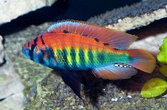 Haplochromis Nyererei ** Lake Victoria Cichlid **  4cm Malawi